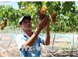 Ninh Thuan to grow new, high-quality species of grape