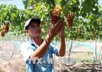 Ninh Thuan to grow more new, high-quality grape